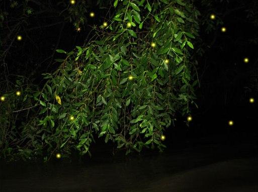 amphawa firefly season
